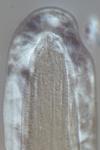 Lectotype juvenile of Camacolaimus brachyuris