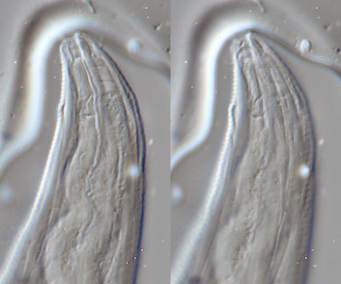 Lectotype female of Camacolaimus glauxicola