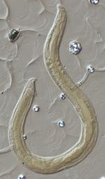 Lectotype juvenile of Camacolaimus macrocellatus