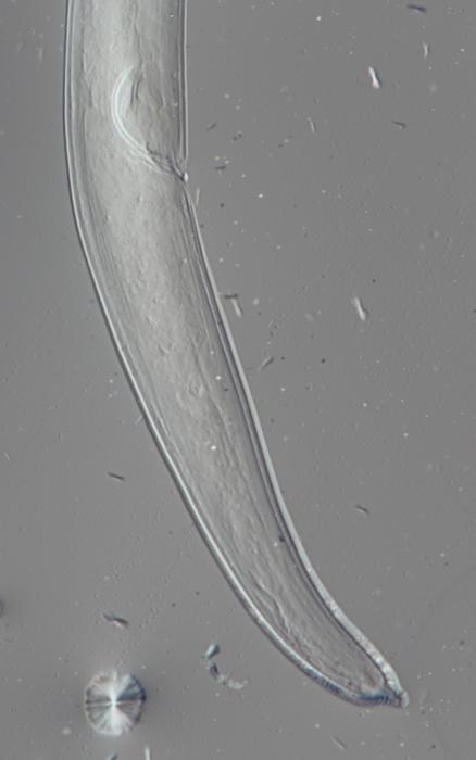 Lectotype male of Camacolaimus norwegicus