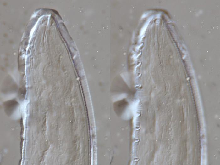 Lectotype male anterior