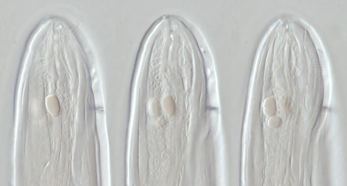 Lectotype female of Camacolaimus parocellatus