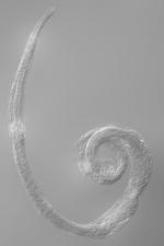Lectotype female of Dermatolaimus longiseta