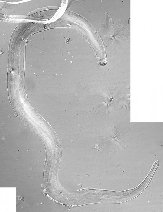Lectotype female of Leptolaimus donsi