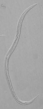 Holotype male of Leptolaimus secundus