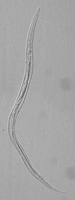 Paratype female of Leptolaimus secundus