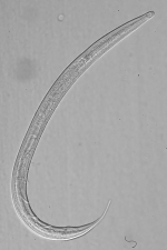 Holotype male of Leptolaimus tertius