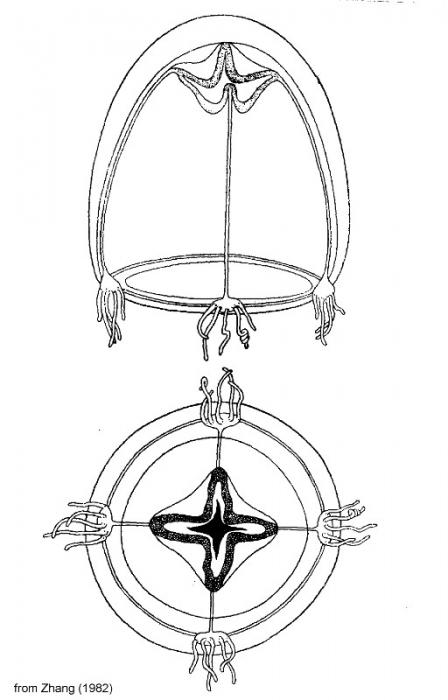 Zhangiella nanhainense from Zhang (1982)