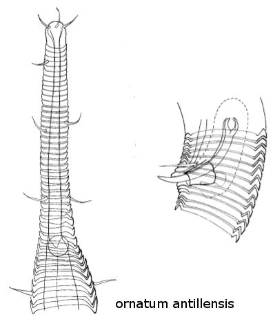 Rhynchonema ornatum antillensis