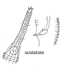 Rhynchonema scutatum