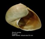 Sinum cymba