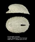 Cranopsis cumingii