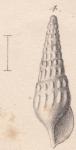 Rissoina interrupta Credner, 1864