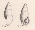 Rissoina gymna Cossmann, 1885