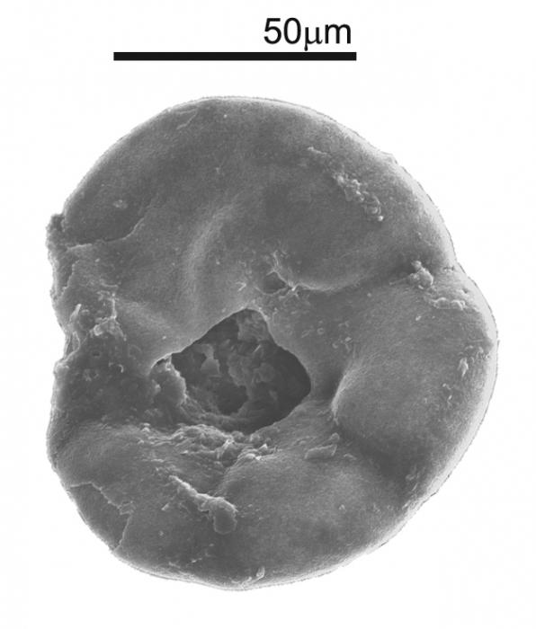 Lamarckina haliotidea (Heron-Allen & Earland, 1911)