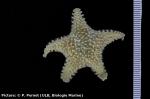 Lophaster stellans