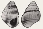 Alvania obliquicostata Wang, 1981