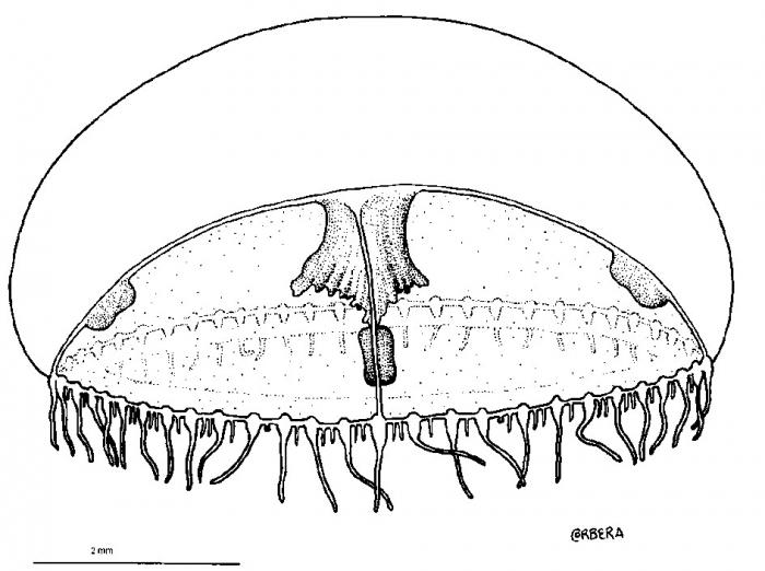 Mitrocomella millardae from Pagès, Gili & Bouillon, 1992.tif