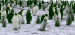 Emperor Penguin crop 2