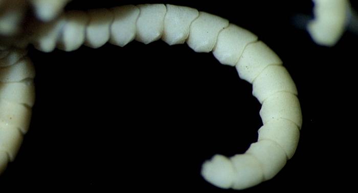 Antedon serripinna, type specimen, cirrus.