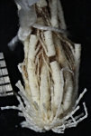 Nepiometra nicippe holotype Natural History Museum London cat. no. 1934.5.4.2