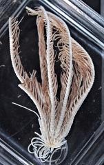 Florometra magellanica holotype Natural History Museum London cat. no. 82.10.16.103