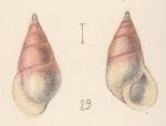 Zebina paivensis (Watson, 1873)