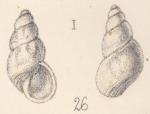 Rissoa lincta Watson, 1873