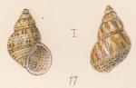 Rissoa albugo Watson, 1873