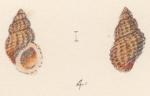 Rissoa aurantiaca Watson, 1873