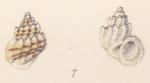 Rissoa gibbera Watson, 1873