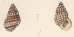 Rissoa leacocki Watson, 1873