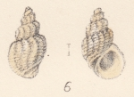 Rissoa crispa Watson, 1873