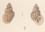 Rissoa macandrewi var. spreta Watson, 1873