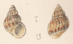 Rissoa novarensis Watson, 1873