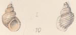 Rissoa moniziana Watson, 1873