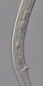 Holotype male posterior end of Antomicron lorenzeni