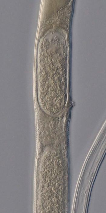 Holotype female midbody of Domorganus suecicus