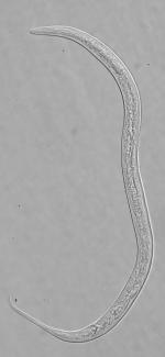 Holotype male of Leptolaimus primus