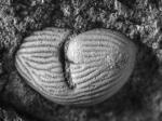 Richteria migrans Holotype L 22944a