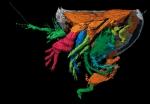 Nymphatelina gravida Holotype OUM 29600 lateral view