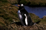 Gentoo Penguin (A3)CS2_1