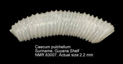 Caecum pulchellum