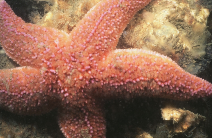 Common starfish - Asterias rubens Linnaeus, 1758