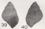 Alvania butonensis Beets, 1942