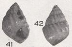 Alvania waisiuensis Beets, 1942