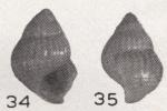 Alvania asphaltodus Beets, 1942