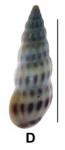 Rissoina clavula (Deshayes, 1825)
