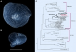 Dendrogramma image and phylogenetic tree - O'Hara et al, 2016