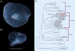 Dendrogramma image and phylogenetic tree - O'Hara et al, 2016